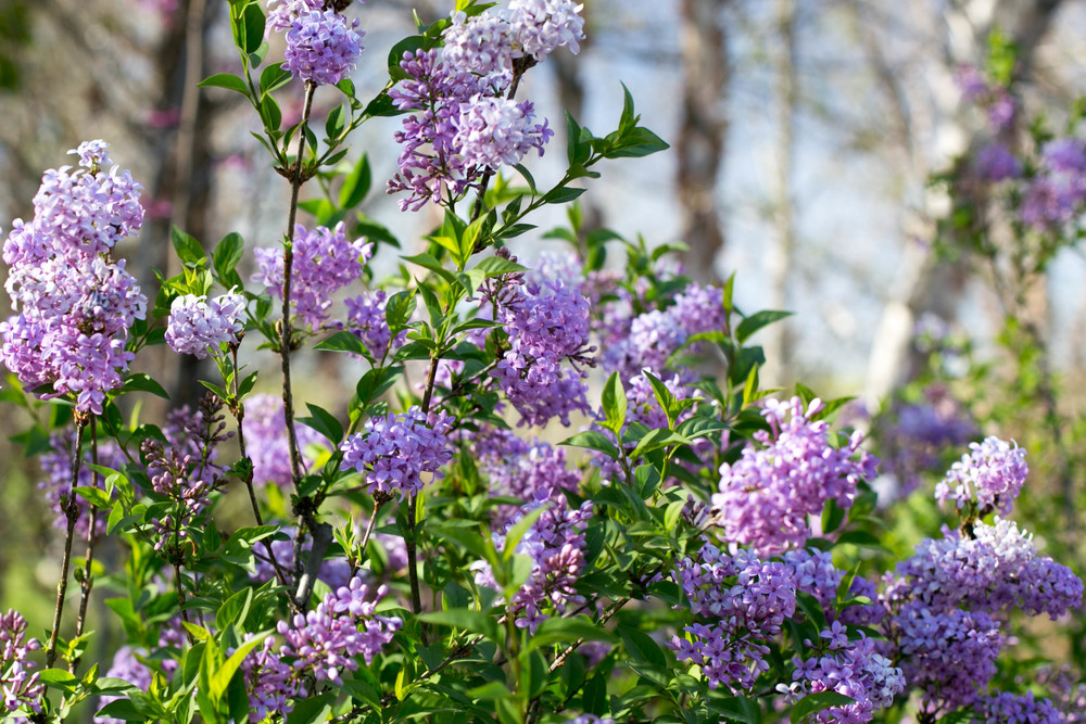Fragrant Chinese Lilac