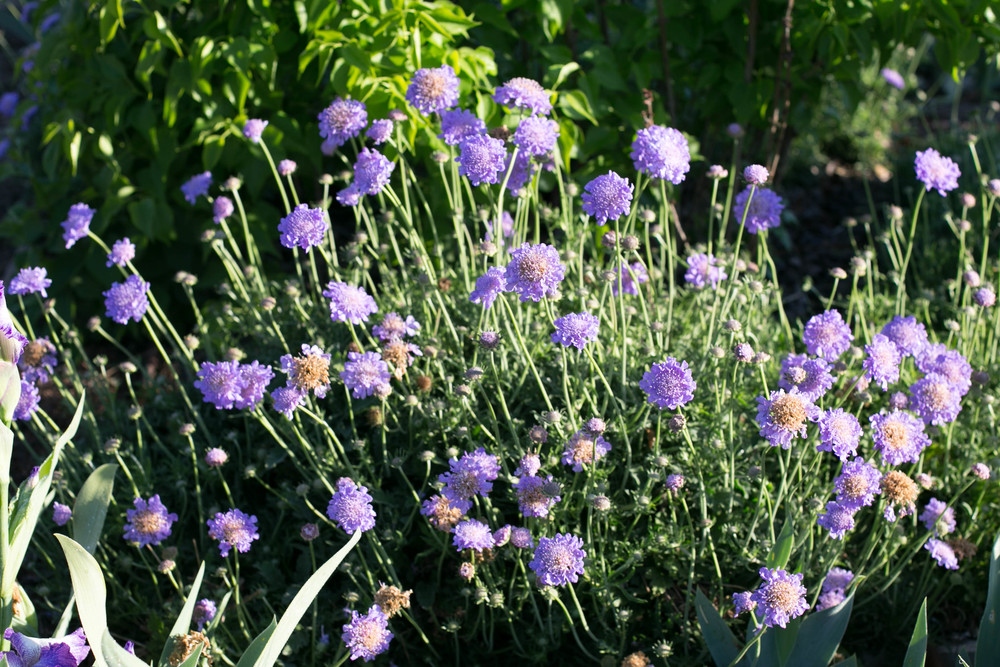 Scabiosa 'Butterfly Blue' (Pincushion Flower)