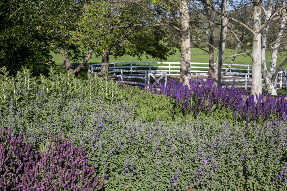 Spanish Lavender, Russian Sage, Catmint and Salvia Nemorosa