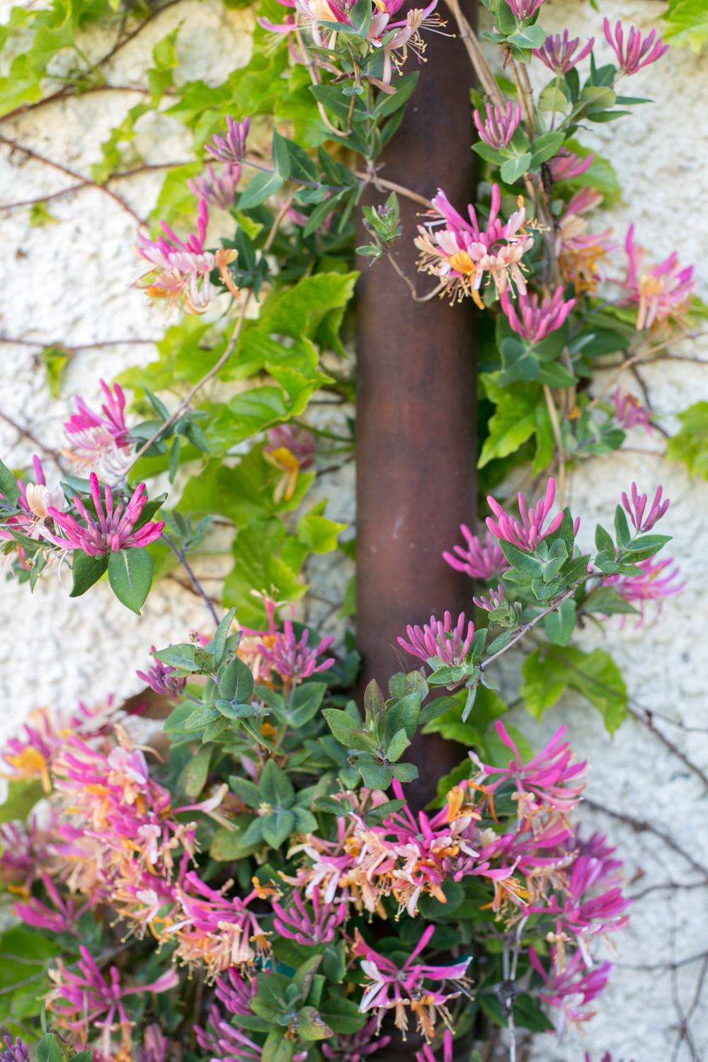 Gold Flame Honeysuckle climbing a copper downspout