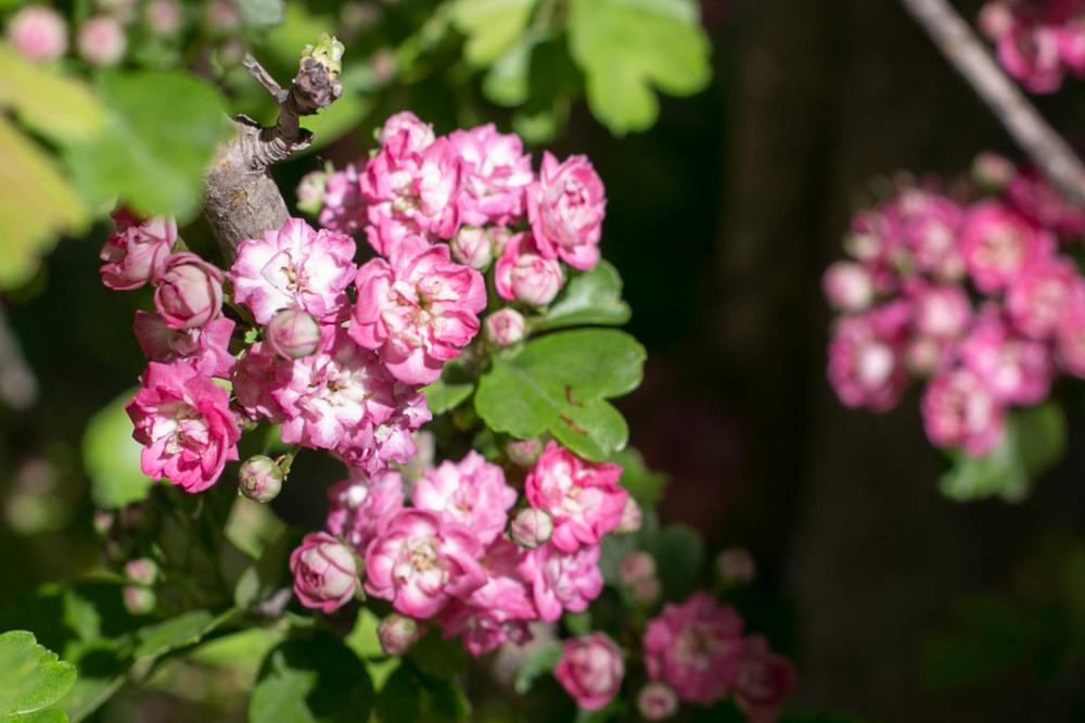 Hawthorn 'Paul's Scarlet'