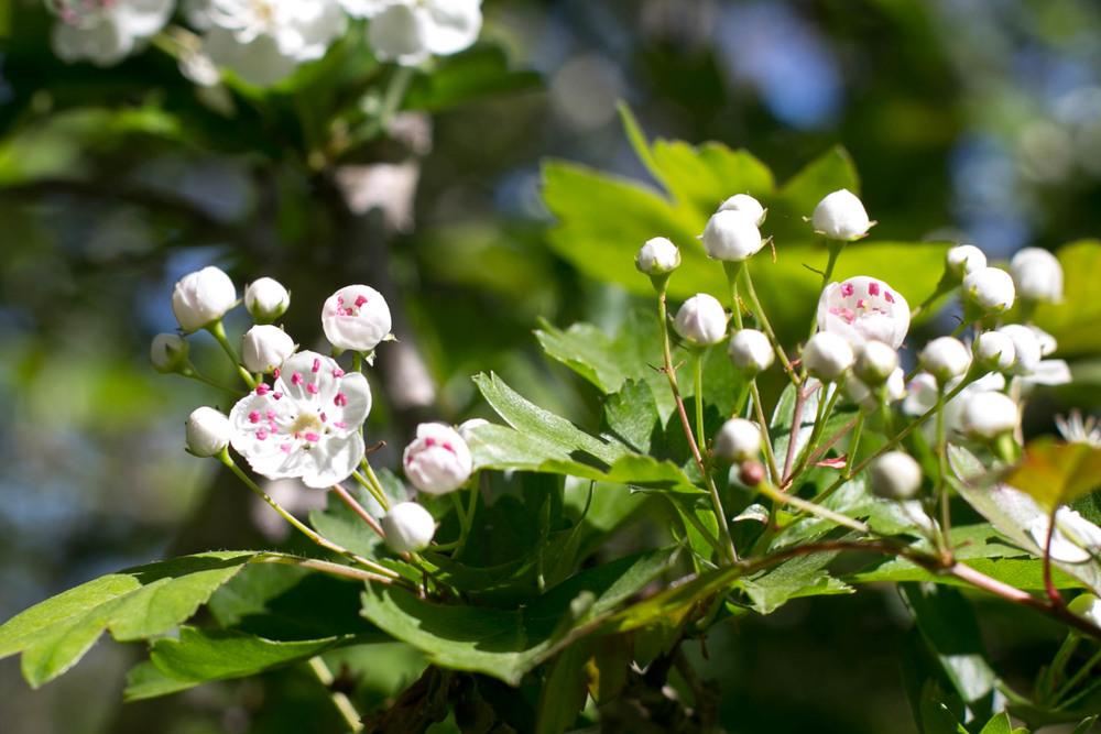 White Hawthorne (Crataegus monogyna)