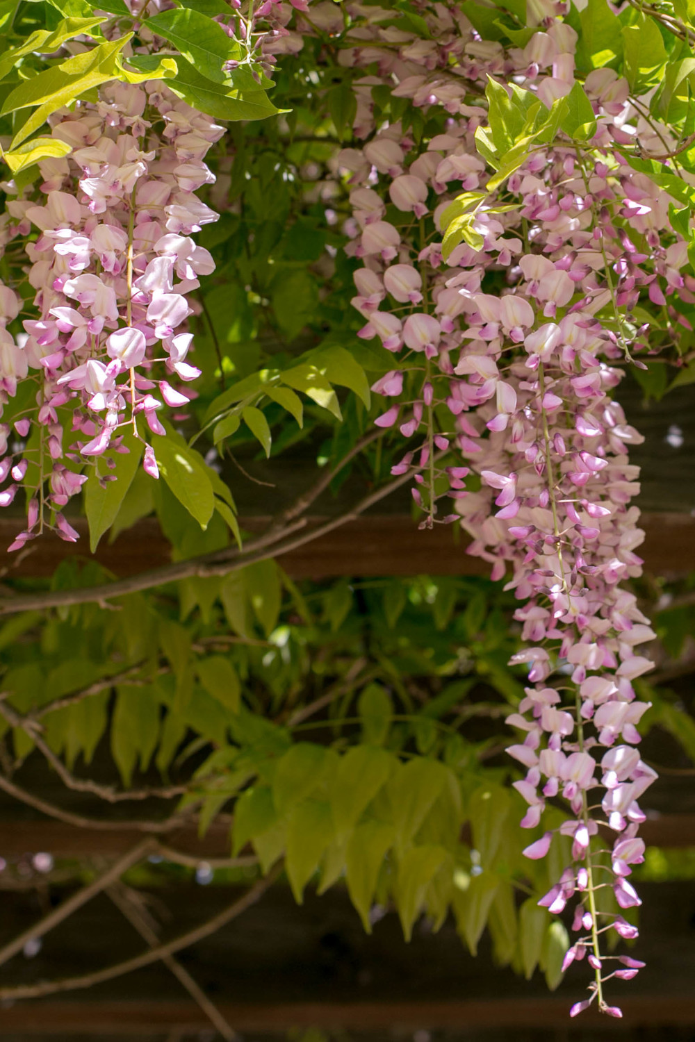 Pink Wisteria on the Breakfast Terrace