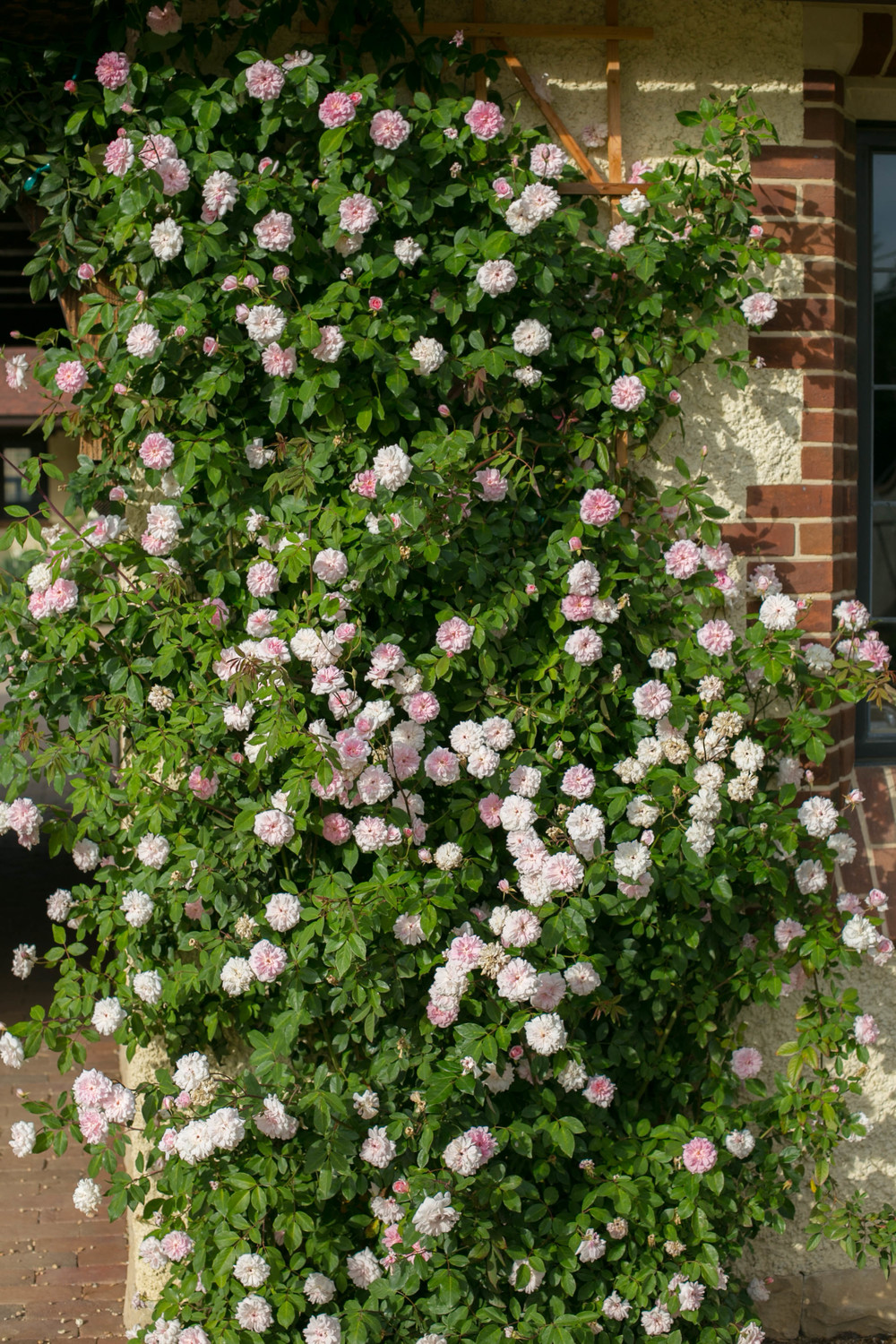 Climbing Rose Mlle Cécile Brünner scrambles up the wall and across the Porte Cochere