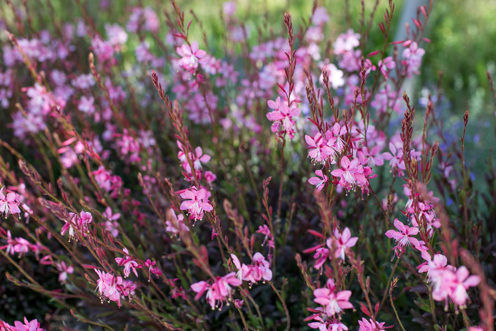 Gaura 'Pink Fountain' on the entrance drive