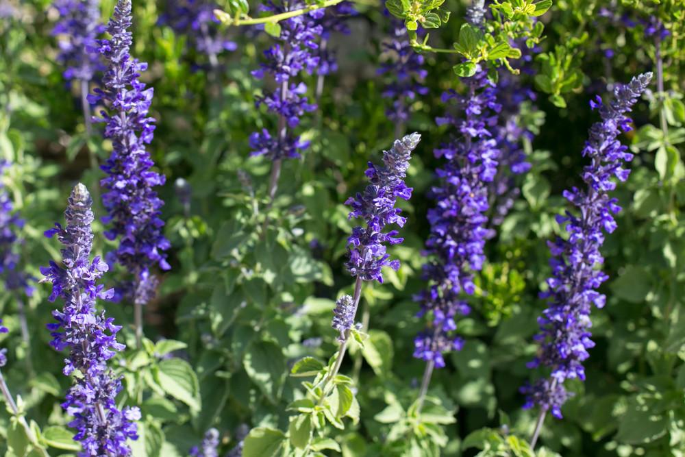 Salvia 'Mystic Spires Blue'