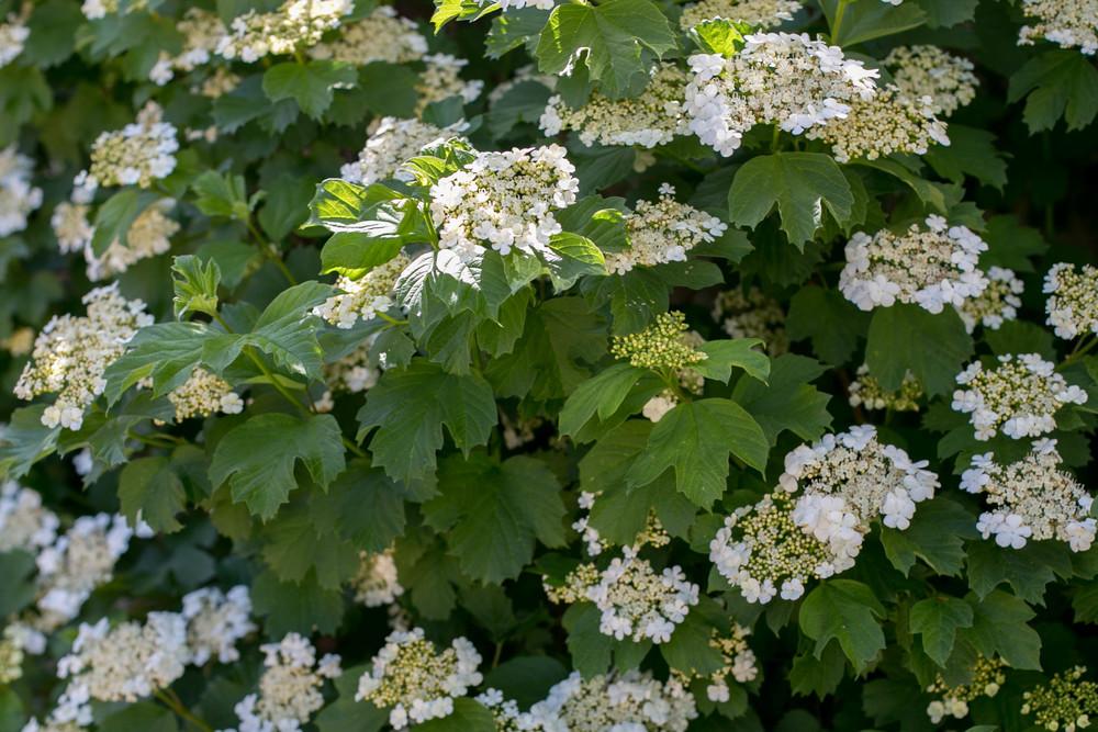 American cranberrybush (Viburnum trilobum)