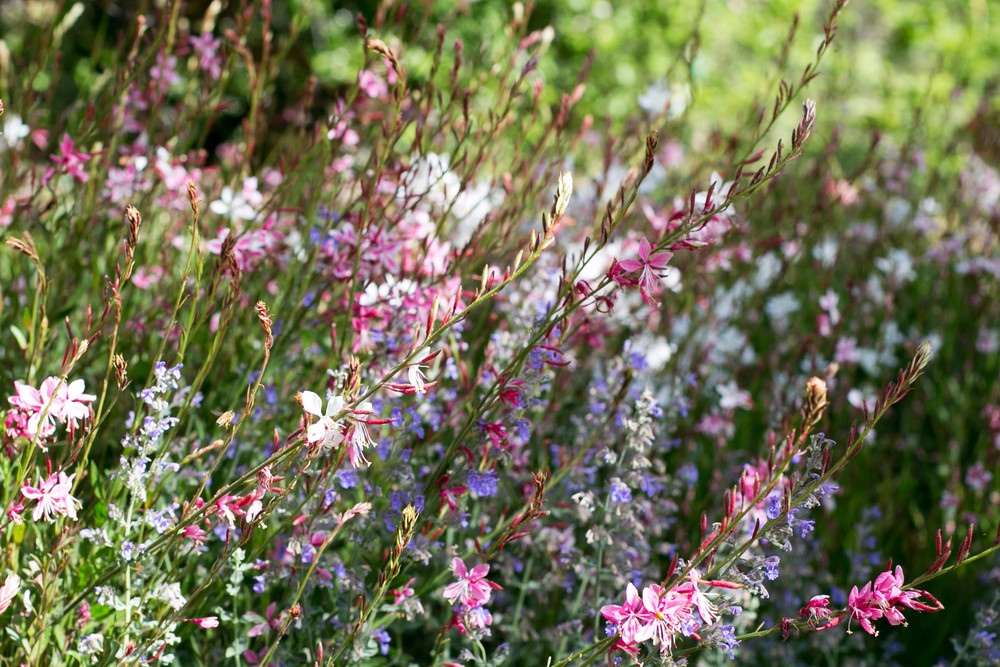 Gaura 'Pink Fountains' and Nepeta x fassini 'Walkers Low'