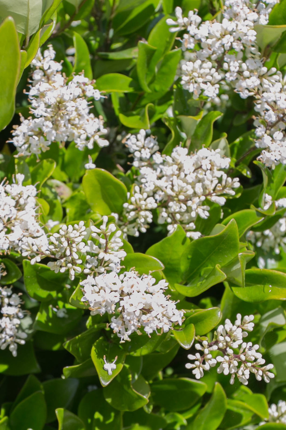 Waxleaf Privet (Ligustrum texanum)