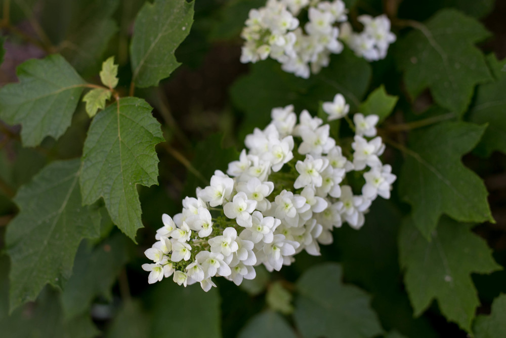 Oak Leaf Htdrangea (Hydrangea quercifolia 'Snow Queen')