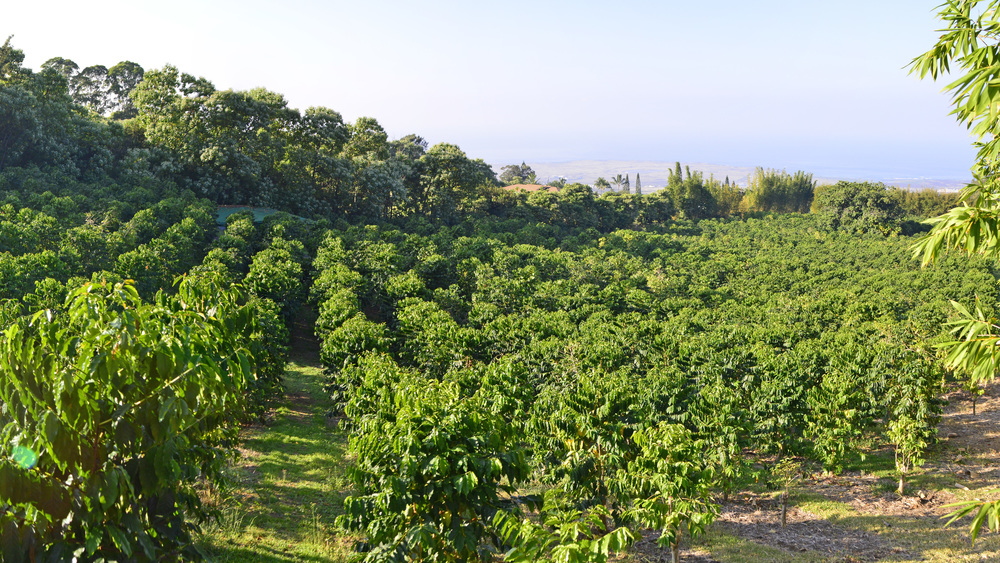 Gentle slope of the coffee orchard