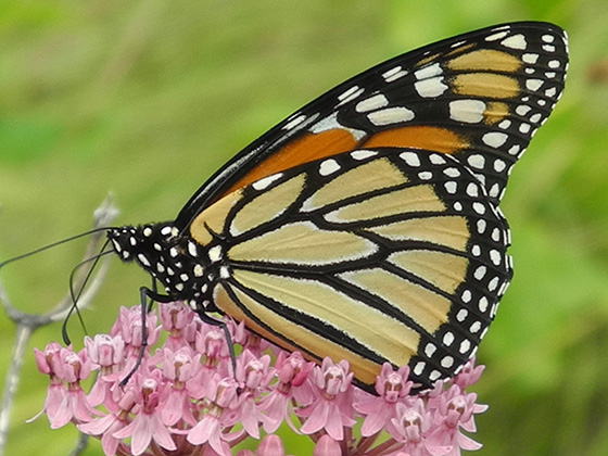 Climate change and development are reducing the habitat monarch butterflies need to survive. (Madeline Champagne)
