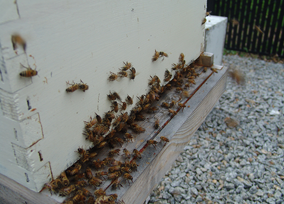 A New Bedford ordinance crafted in 1976 forbids beekeeping. (Frank Carini/ecoRI News)
