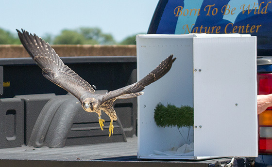 Krypto, a peregrine falcon, was released back into the wild last month, but his stay was short-lived. Soon after, he was found at the entrance of the Superman building. (Peter Green/Providence Raptors photos)