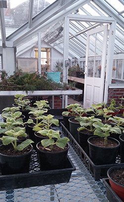 As early as December, plants are grown in the greenhouse for the following spring.