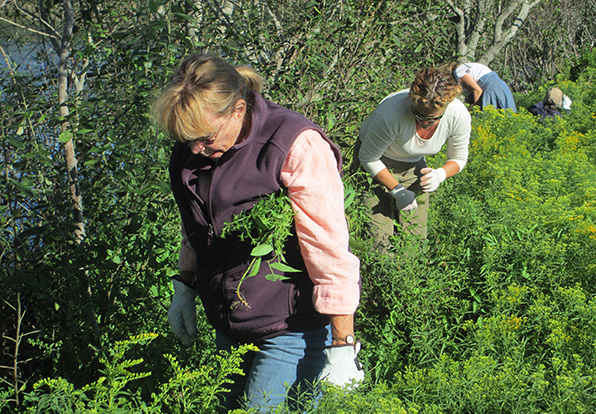 Volunteers search for emergent Japanese knotweed and black swallow-wort in a patch of golden rod that sprouted up after a stand of knotweed was removed along Lake Canonchet in Narragansett. (Friends of Canonchet Farm)