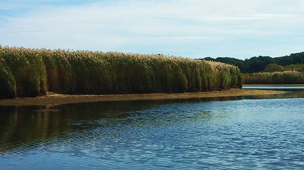 A 12-foot-high wall of phragmites lines the banks of a marsh on Nantucket. The invasive reed is notorious for outcompeting native species, such as cattails, and altering marsh hydrology. (Kevin Proft/ecoRI News)