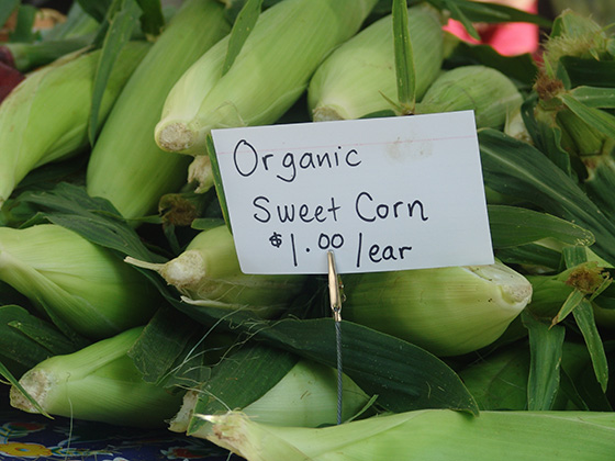 Organic corn is a labor-intensive crop that can be a little buggy. (Frank Carini/ecoRI News)