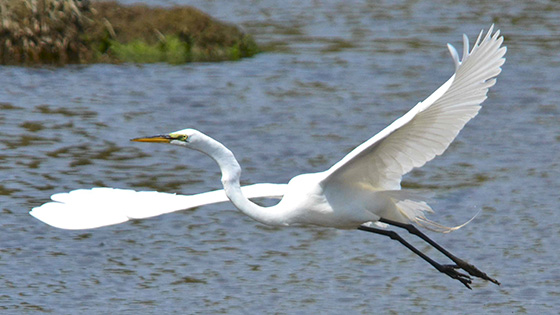 Great egrets nest in colonies, sometimes with other species of wading birds on islands in Narragansett Bay. But like much of the wildlife living under, on and around the bay, their preferred habitat and food sources are changing. (Deborah Richmond/for R.I. Audubon Society)