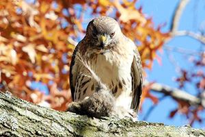 A red-tailed kawk enjoying a squirrel lunch Nov. 16 in Burnside Park. (Peter Green/Providence Raptors photos)
