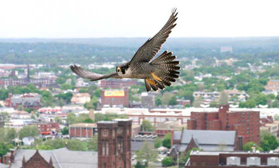 For the past seven years, Peter Green has been photographing Providence's population of urban birds of prey, such as this peregrine falcon. (Peter Green/Providence Raptors)