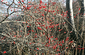 winterberries.jpg
