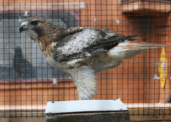 Phoenix, 5-year-old red-tailed hawk, was burned by a methane flare at the Central Landfill. The bird is recovering at the Born To Be Wild (BTBW) rehabilitation center in Bradford. (David Smith/ecoRI News photos)