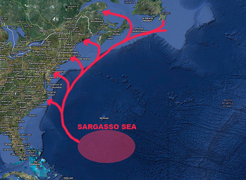 The species' spawning grounds in the Sargasso Sea, in the middle of the North Atlantic. (New England Boating)