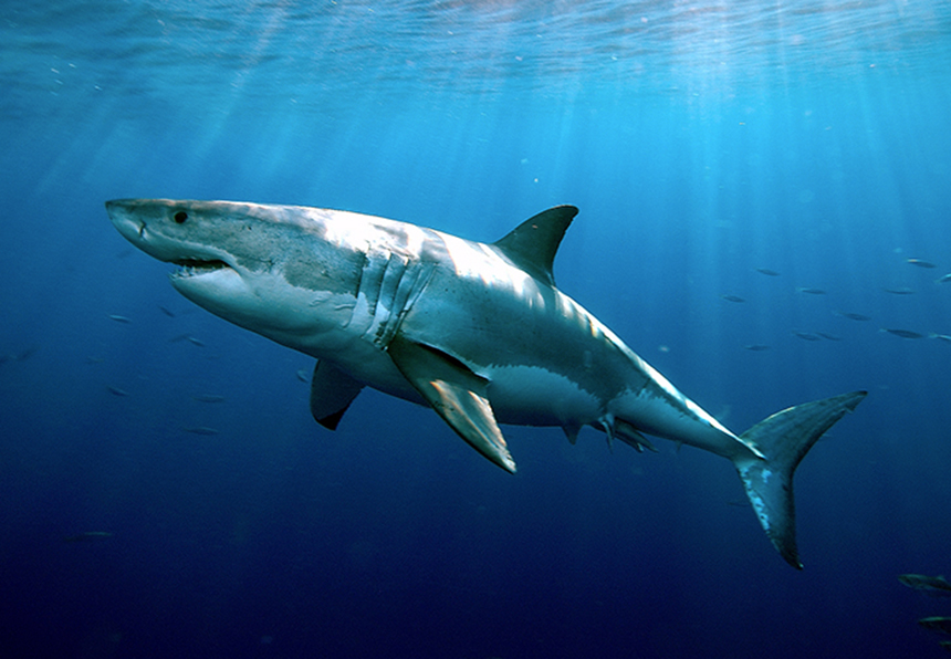 White sharks can live up to 70 years. (Greg Skomal/Massachusetts Marine Fisheries)