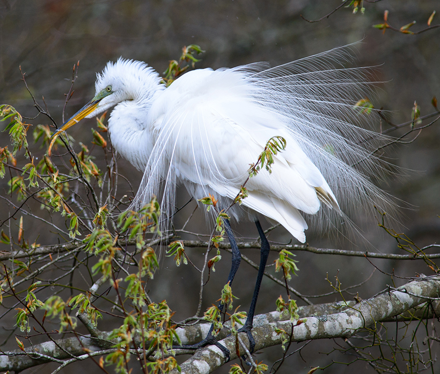 Southern New England's wildlife populations, such as this great egret, generate millions annually in local revenue from birdwatchers and sportsmen. (Ed Hughes/for the Audubon Society of R.I.)