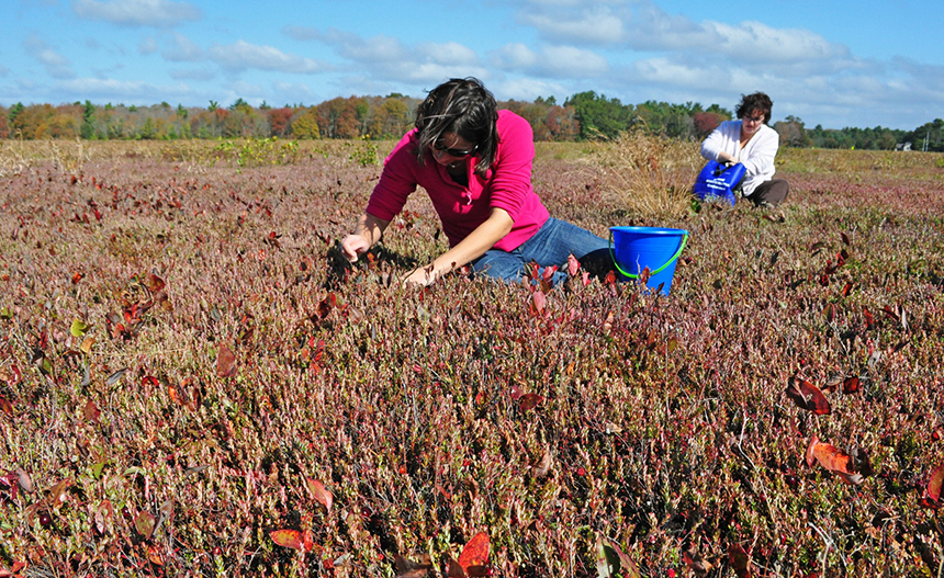 Cranberries can still be gathered from the retired bogs.