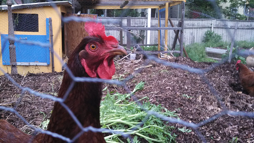 Hens At Sidewalk Ends Farm On Providenceu0027s West Side. The City Of  Providence Amended Its