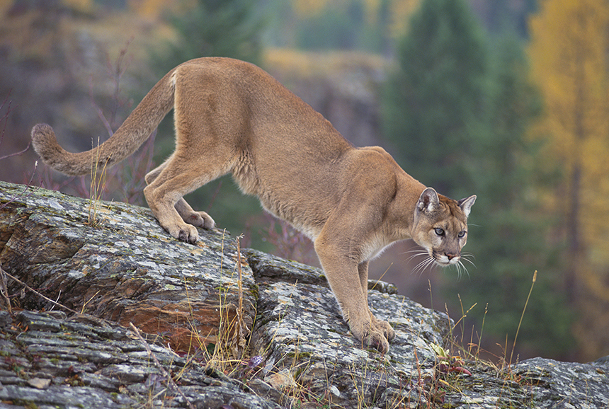 Adult male mountain lions can grow to be more than 8 feet long, from the tip of the nose to the tip of the tail, and can weigh between 130 and 150 pounds. Adult females can be 7 feet long and weigh between 65 and 90 pounds. They also are called cougars, panthers and pumas. (U.S. Forest Service)
