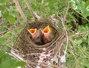 If a baby bird doesn't have feathers and you can reach the nest, put it back. Your touch will not cause the mother to abandon the baby. (Audubon Society of R.I.)