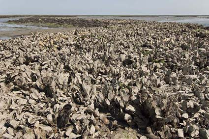 In Massachusetts, The Nature Conservancy is leading an ambitious initiative to restore native shellfish species, most notably oysters, and their habitat to some 5,000 acres. (Mark Godfrey/The Nature Conservancy)