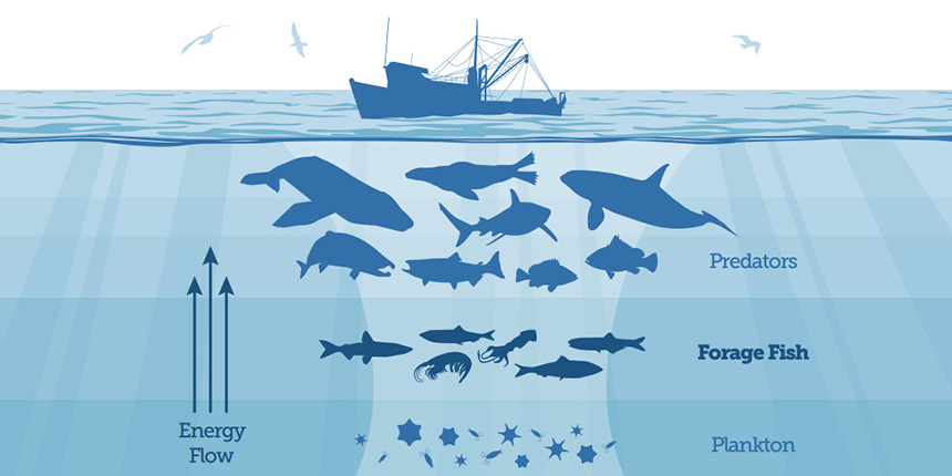 Small, schooling species such as menhaden and herring play a vital role in the ocean food web. Forage fish eat tiny plants and animals, in turn becoming an important food source for bigger fish, seabirds and marine mammals. (The Pew Charitable Trusts)