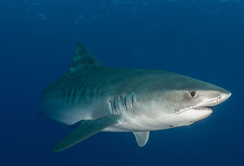 Tiger sharks can grow to be 14 feet long and weight 1,400 pounds. (Nick Filmalter/Danah Divers)