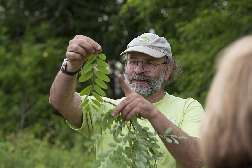 Expert forager Russ Cohen pointed out a number of edible wild plants, including some invasive black locust, during a recent tour of the grounds of the Audubon Environmental Education Center in Bristol, R.I. The edible part of the black locust is its sweet, jasmine-fragranced flower clusters, which come out in mid-May. (Joanna Detz/ecoRI News photos)
