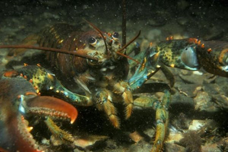 The American Lobster is one species that will benefit from the new plan for Long Island Sound. (Long Island Sound Resource Center)