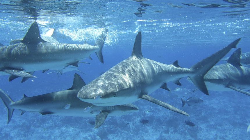 A dozen or so different species of sharks swim in and out of southern New England's waters throughout the year, mostly migrating to the region in the summer. (The Pew Charitable Trusts)