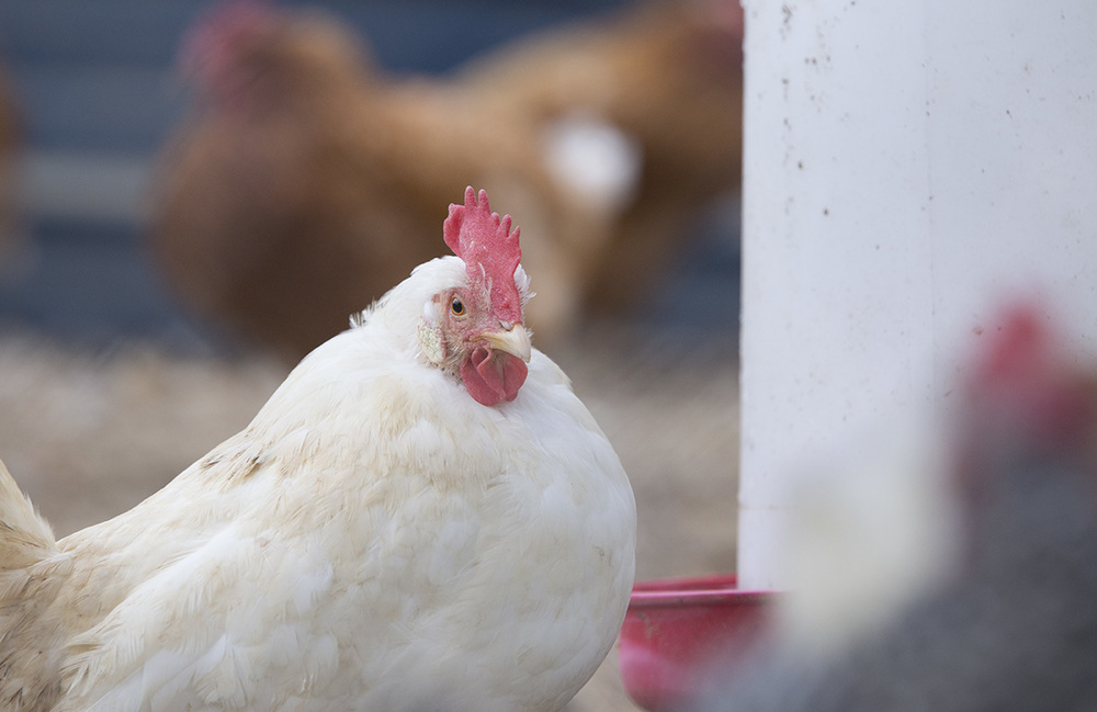 Chickens: The Gateway Drug to Farming