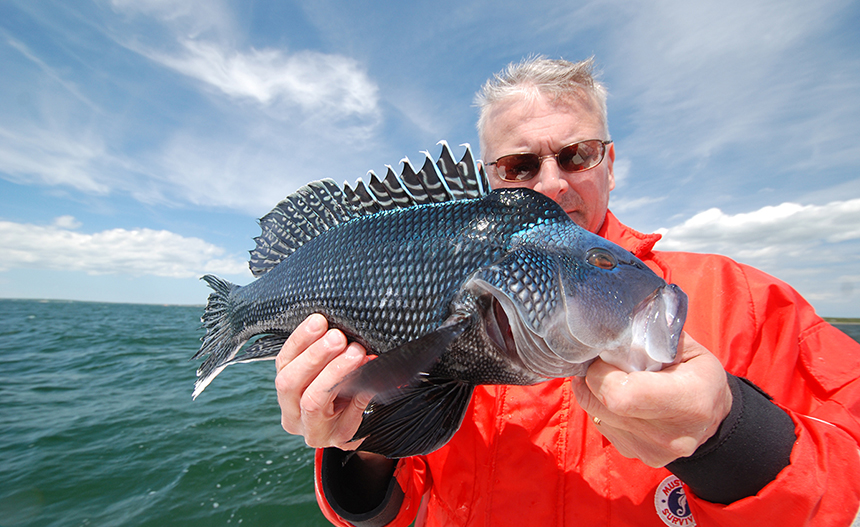 Black sea bass, which are sought both recreationally and commercially, are appearing in greater numbers off the coast of southern New England. (Tom Richardson/New England Boating)