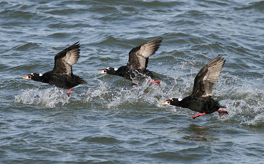Surf scoters migrate in flocks. When migrating overland to coastal wintering areas, they usually fly high. (Audubon Society)