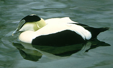 A male American common eider. (USFWS)