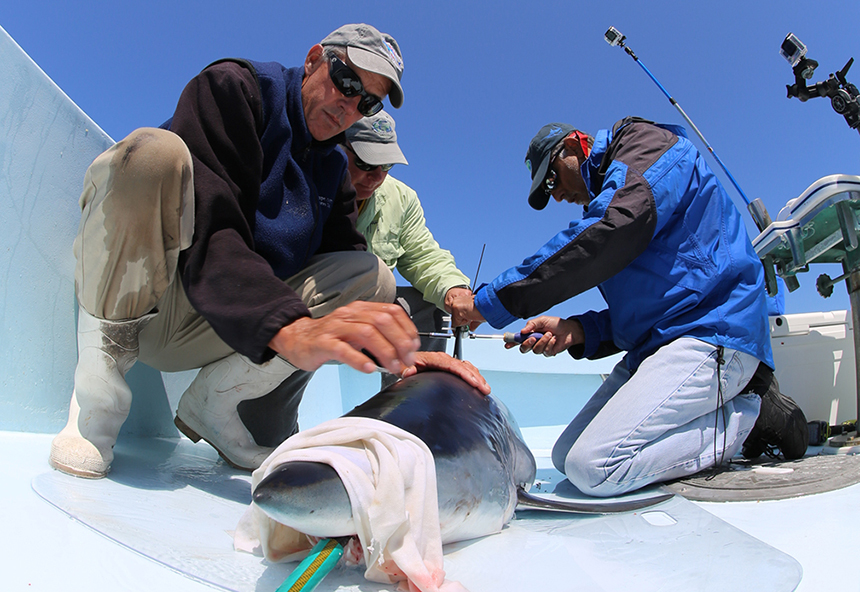 URI shark expert Brad Wetherbee, center, and colleagues from Nova Southeastern University tag a mako shark as part of the Great Shark Race. (George Schellenger)