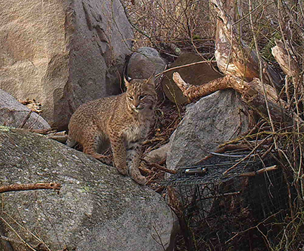 A bobcat sits next to a trap in South Kingstown set by URI and DEM researchers so they can capture and track bobcats. (Amy Gottfried Mayer)