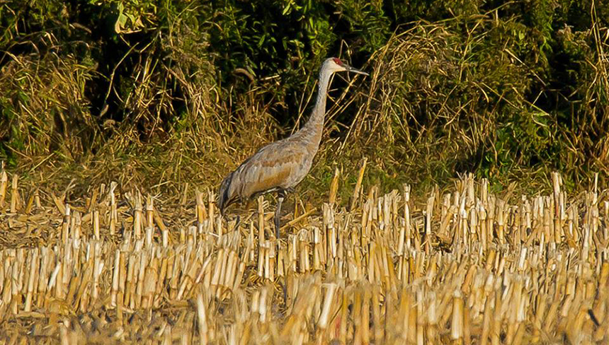 This sandhill crane has spent the winter hanging out in Tiverton, R.I. These birds don't typically winter in the Northeast. (Butch Lombardi/for Audubon Society of Rhode Island)