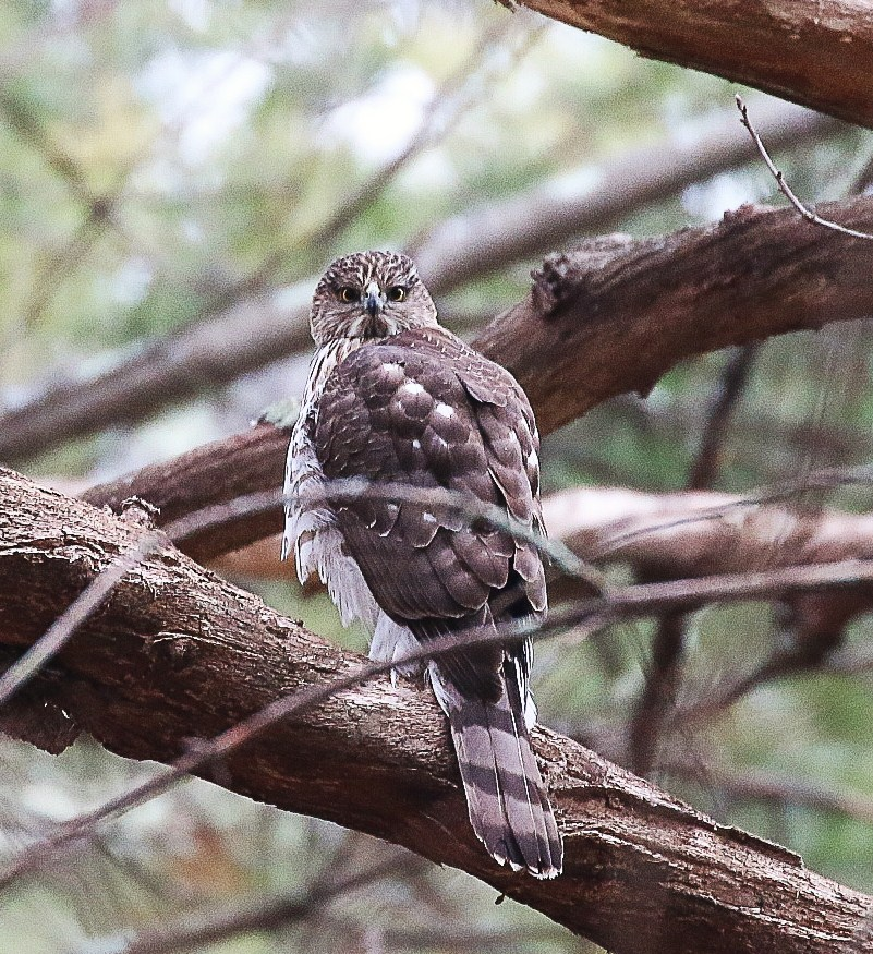 Cooper's hawks, like this one spotted in Richmond, R.I., prefer woodland habitat, while other raptors prefer fields or coastal habitat (Peter Paton)