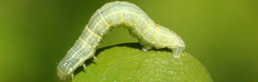 The winter moth caterpillar can wreak havoc on trees. Introduced into the United States from Europe via Canada, is most commonly observed in late fall, early winter as a whitish adult moth and in spring as a tiny green caterpillar. (Audubon Society)