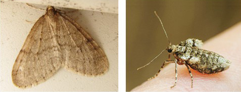 A male winter moth, left, and a female winter moth. The latter can't fly. (NOFA/RI)